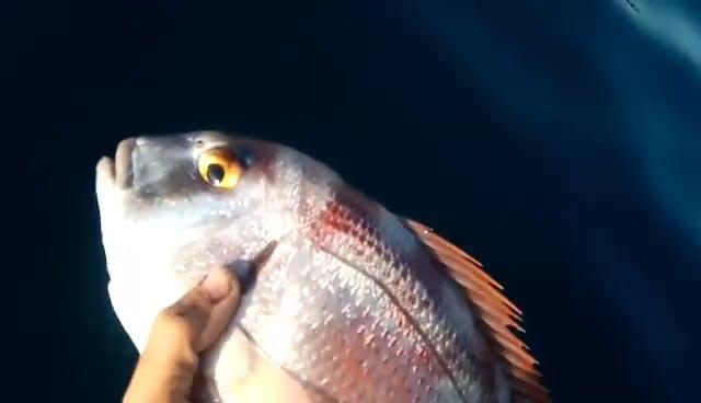 Απελευθέρωση υπομεγέθους ψαριού